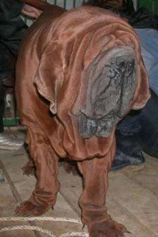The Mee Kyun Dosa (or Korean Mastiff) looks like a cross between a Neapolitan Mastiff and a Sharpei but a Dosa generally stands about 30 inches tall and weighs around 180 lbs - making the typical Dosa just smaller than the typical Tosa Inu and just larger than the typical English Mastiff.