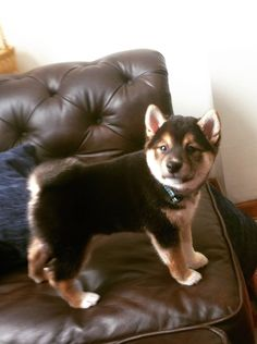 5 of the healthiest dog breeds, yes I love my Shiba Inu! Puppies And Kitties, Cute Puppies, Cute Dogs, Doggies, Awesome Dogs, Baby Animals, Funny Animals, Cute Animals, Wild Life