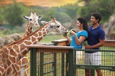 Feed a Giraffe Both Busch Gardens locations - Tampa, Florida, and Williamsburg, Virginia - offer g. Florida Theme Parks, Orlando Theme Parks, Florida Vacation, Tampa Bay Fl, Tampa Bay Area, Sarasota Florida, Studio Harry Potter, Disneyland, Busch Gardens Tampa Bay