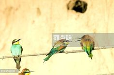 European Bee Eater, Merops apiaster, France. © Henry Ausloos / age fotostock - Stock Photos, Videos and Vectors