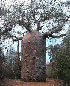 Teapot Baobab Tree - in Ifaty, southwestern Madagascar by chad.melius