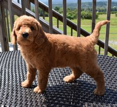 Mini English Teddy Bear Goldendoodle Teddy Bear Goldendoodle, Golden Labradoodle, Organic Gardening Tips, I Love Dogs, Cute Puppies, Fur Babies, Doodles, Creatures, English