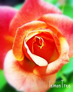 rose,sweet rose