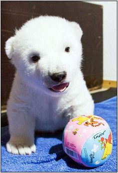 baby polar bear! ...omg so precious!!!!! i wanna snuggle it!