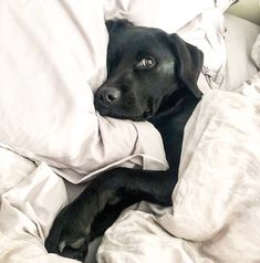 Comfy Labrador 😁... If you love Labradors visit our blog! #labrador #labradorretriever #labradorcentral #retriever #labradors #retrievers #repost 📸 credits: @kobi_thelabrador on Instagram