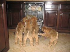 Pictures of Soft Coated Wheaten Terrier Dog Breed