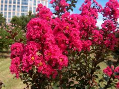 The Rose Shop a Salt lake City florist, introduces the 2017 best flowers including the crepe myrtle