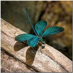 A Turquoise Dragonfly.. More Pins Like This From FOSTERGINGER @ Pinterest