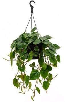 Philodendron Scandens XL
