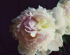 "Peony flower photograph floral dark still life photography pale pink dark botanical print 8x10 16x20 ""Peony Five"""