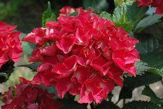 Hydrangea ( hortensia ) macrophylla red beauty:
