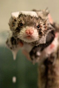 Ferret bath time.