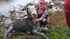 Image result for donkey rescued from flood