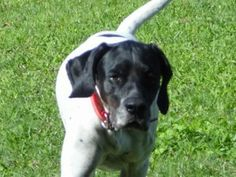 Adopt Female English Pointer Dog Angel | Lifeline Dog Rescue ** This purebred female English Pointer dog, Angel, is 7 years old and available for adoption as well as her twin sister Flounder. Their 9 year old father, Zippy, is available, too. Take 1 or both girls, or adopt all 3.  These purebred English Pointer dogs would make friendly and playful companions. Davenport, FL