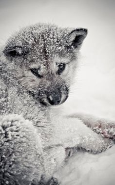 Wolf Pup in Snow..