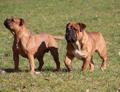 Continental Bulldog, Olde English Bulldogge, Bulldog Breeds, War Dogs, Old English, Beautiful Dogs, Amish, Mans Best Friend, Big Cats