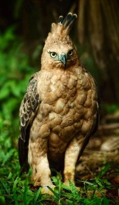 Javan Hawk Eagle - endangered ~ One of the rarest of all raptors, the Javan Hawk-eagle is believed to be a monogamous species. The female usually lays one egg in nest high on top of forest trees. The diet consists mainly of birds, lizards, fruit bats and mammals.