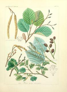 alnus incana pinnatifida, alnus tirolensis      ...