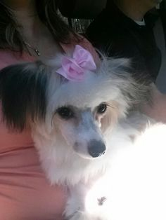 My female chinese crested powder puff pennie at 10 months