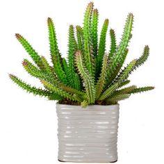 Euphorbia Cactus