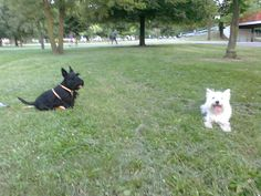 Wesley and his Westy girlfriend during their meeting in the park!