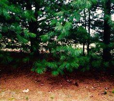 January Pines