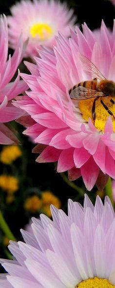 Pink Everlasting flower