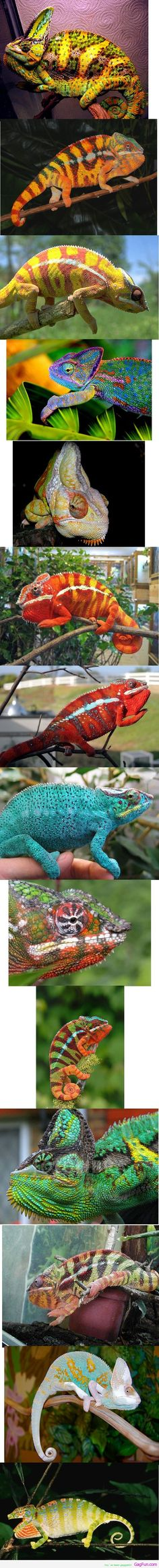 14 Colorful chameleons