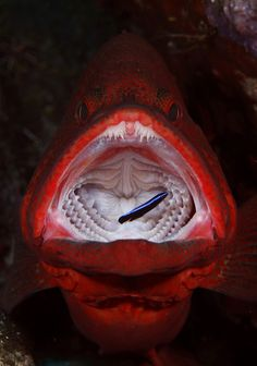 Red grouper w/Cleaner Wrasse