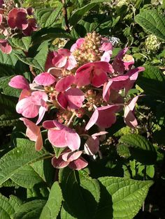 The flowers on 'Quick Fire' Hydrangea make a speedy transition from creamy white to brilliant rose-pink.