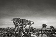 Los árboles más viejos sobre la faz de la Tierra
