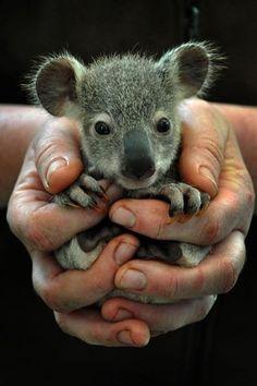 Baby koala- ears!