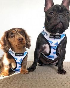 22 Remarkable Dog Harness Step In Dog Harness To Help Lift Back Legs Bulldog Puppies For Sale, Dogs And Puppies, Cute Dog Harness, Puppy Supplies, Pet Dogs, Weiner Dogs, Doggies, Dachshund Love, Dog Photography