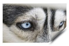 Siberian Husky Dog, Photos Of Eyes, Decals, Sticker, Vinyl Wall Art, Blue Eyes, Dogs, Poster, Animals