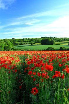Poppy Field, Gloucestershire, England photo via besttravelphotos