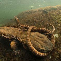"A giant salamander ""hellbender"" (Cryptobranchus alleganiensis) trying to eat a northern water snake. Credit: David Herasimtschuk #herpkeepers #Cryptobranchus #Cryptobranchusalleganiensi…"