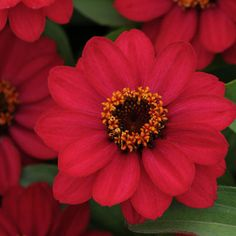 "Harris Seeds - Zinnia Zahara Raspberry  - Zahara varieties offer larger flowers compared to the Profusion Series (approx. 20%) and more colors. Mid-height plants are well branched with an equal spread and are heat, drought and disease tolerant. The full, bushy plants are covered with vibrant flowers that make a marvelous statement in annual gardens and in containers. Height: 12-18"", 12-18"" spread."