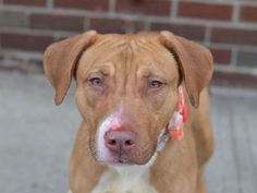 TO BE DESTROYED - 03/0/15 Brooklyn Center -P My name is CAPRESE. My Animal ID # is A1028305. I am a spayed female tan and white am pit bull ter. The shelter thinks I am about 1 YEAR 6 MONTHS old. I came in the shelter as a STRAY on 02/19/2015 from NY 11208, owner surrender reason stated was STRAY. https://www.facebook.com/photo.php?fbid=966225966723616 https://www.facebook.com/Urgentdeathrowdogs/photos/a.611290788883804.1073741851.152876678058553/966225966723616/?type=3&theater