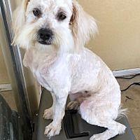 Phoenix, AZ - Poodle (Miniature). Meet Ziggy a Dog for Adoption.