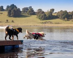 "This is Fado and Madiba. Fado is the Golden Retriever and Madiba is a Bernese Mountain Dog.  Fado and Madiba's owner tells us ""Fado is 5 and a half years old and loves to swim.  He enjoys swimming even more with his EzyDog life jacket. Madiba is only 1 years old and isn't sure yet whether he enjoys swimming, although his EzyDog life jacket definitely makes him feel more comfortable in the water."