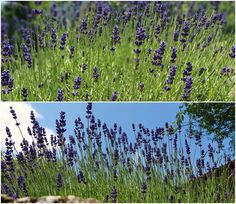 Our lavender is starting to bloom ... every year a feast at our lavenderfarm.