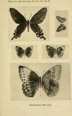 Some undescribed Rhopalocera from Siam - BioStor
