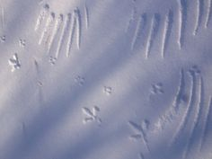 Guess what animal prints these are that lead to the snow angel?  And there is another set of prints.  Can you guess what made these snow prints?  Snow prints are so much fun.  Loving nature with #lovingconsciousness.