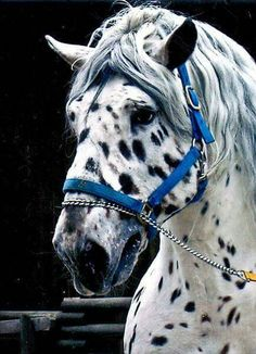 Tiger Noriker when I win the lottery these horses will be in America