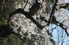 cherry blossoms kanazawa,japan