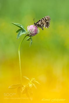 Polly On The Red Clover by LeonidFedyantsev #nature #photooftheday #amazing #picoftheday