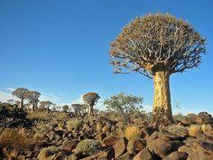 L'Aloe dichotoma, un aloès indigène d'Afrique du Sud et de Namibie