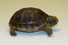 Black Greek Tortoise.