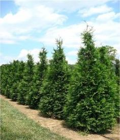 Thuja Green Giant Trees - Worlds Fastest Growing Privacy Tree!