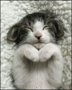 ACG • KITTEN GIF • Sleepy Kitty with amazing ears and praying paws. He is so cute